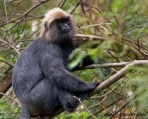 Nilgiri Langur (Endangered Species) (World Wildlife day AND Endangered Animals in India)