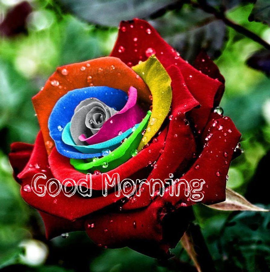 Good Morning Rose Pics Images Photo Wallpaper Download